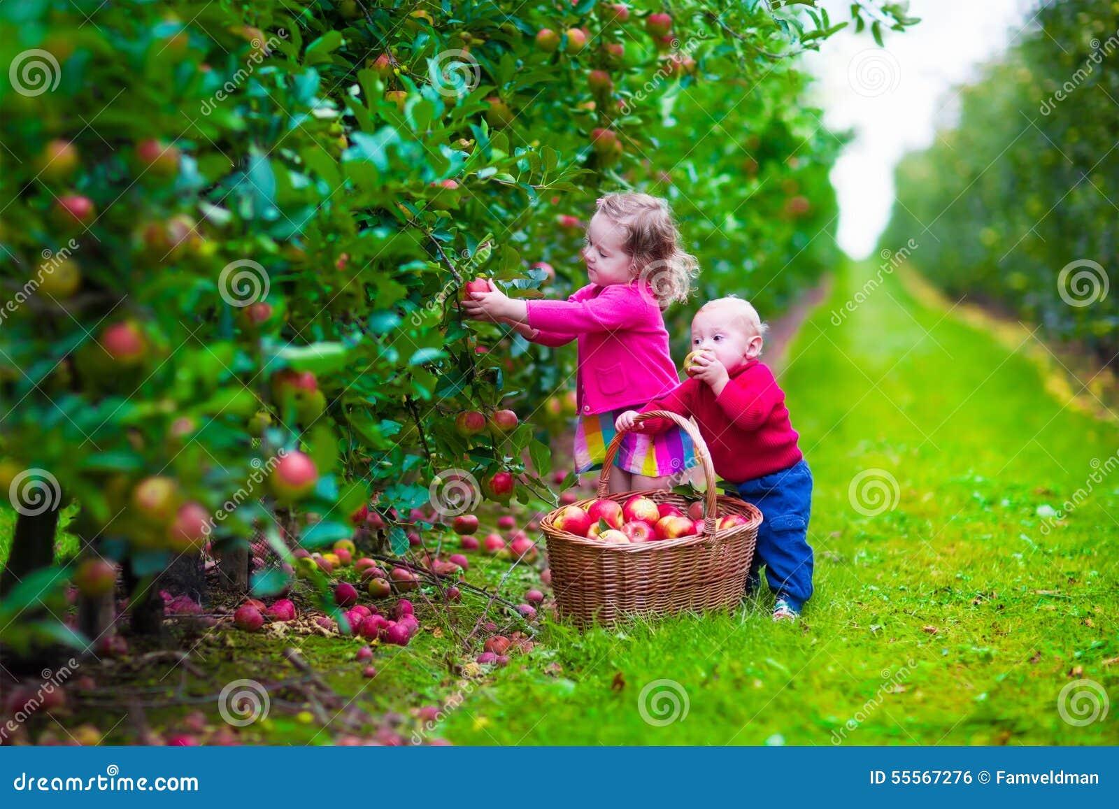 Kids picking fresh apple on a farm