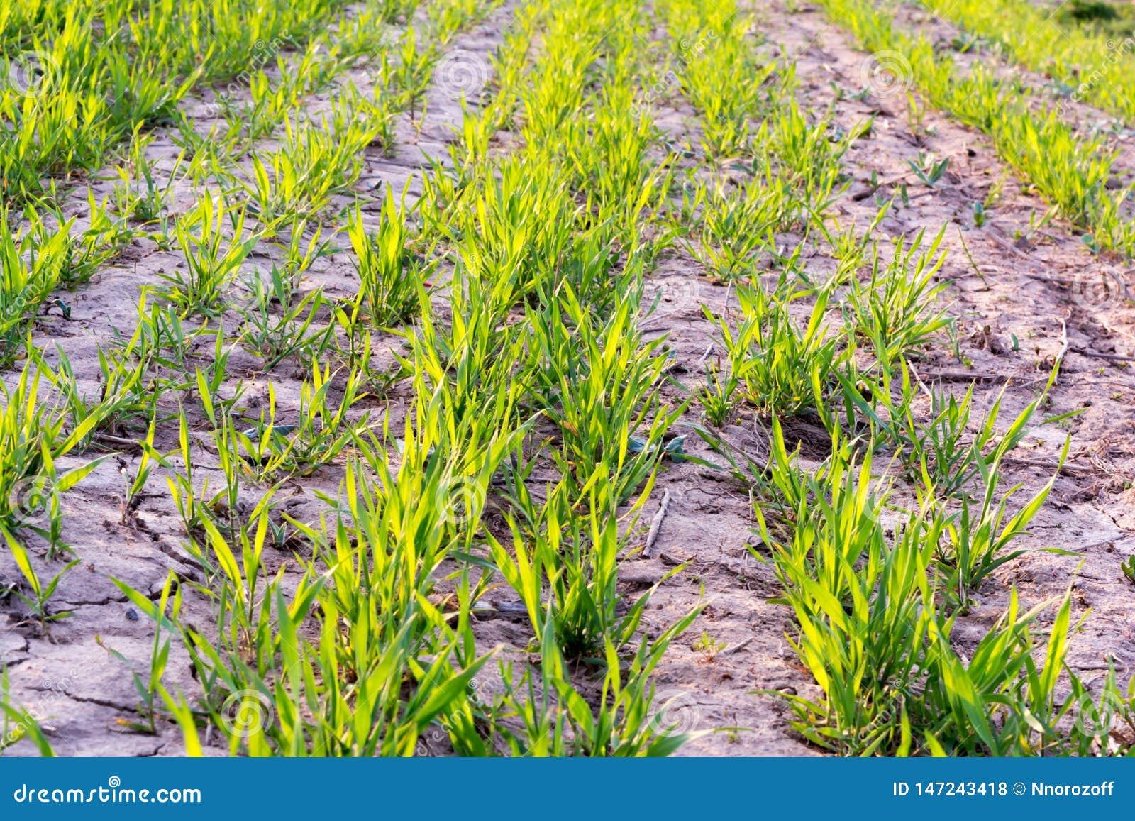 Kiełkowanie zboże rośliny Zboże flance właśnie zaczynali kiełkować od ziemi Zielone flanc linie