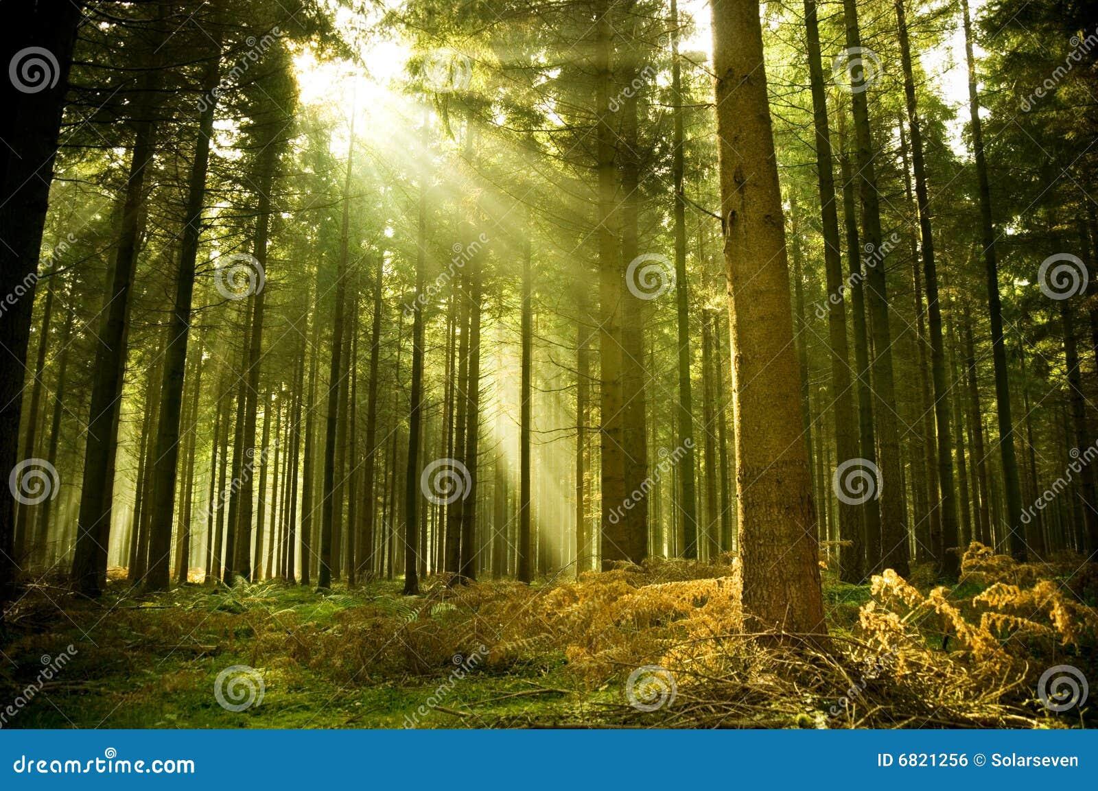 Kiefer-Wald