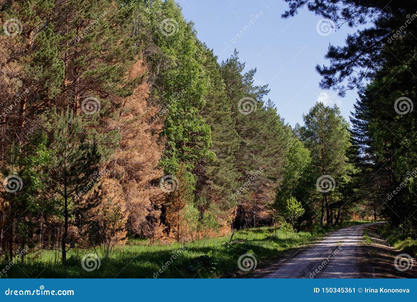 Kiefern beeinflußt während eines Feuers im sibirischen Waldwaldweg