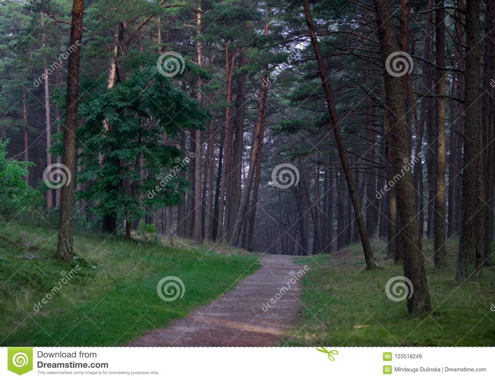 Kiefern-Wald in Litauen mit Weg und Gras