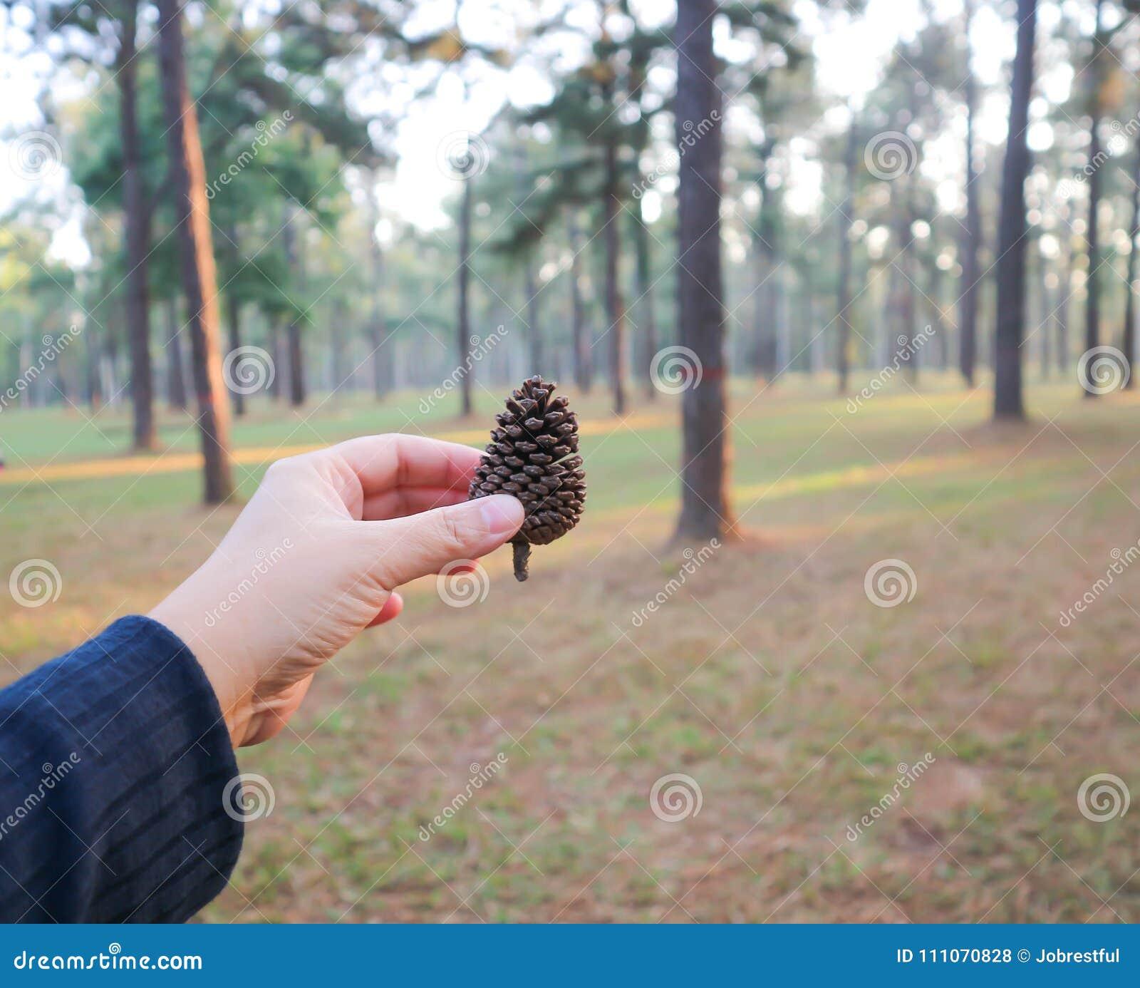Kiefernblume oder starb Kiefernblume
