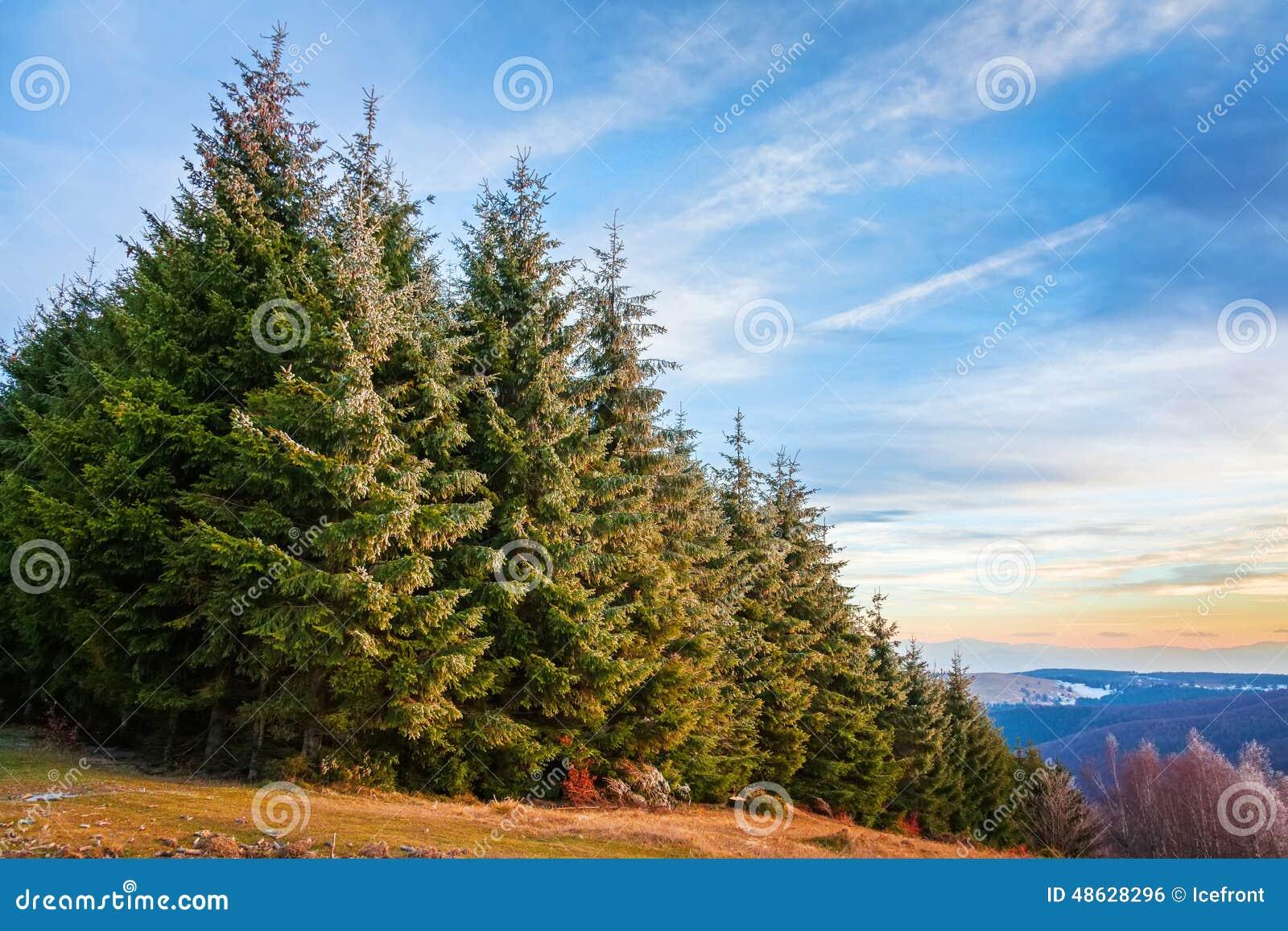 Kiefernwald in Siebenbürgen