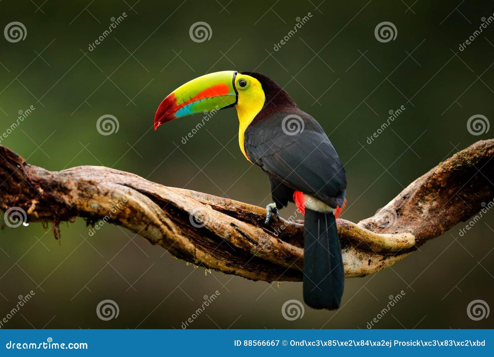 Kiel-gefactureerde Toekan, Ramphastos-sulfuratus, vogel met grote rekening Toekanzitting op tak in het bos, Guatemala Aardreis bi