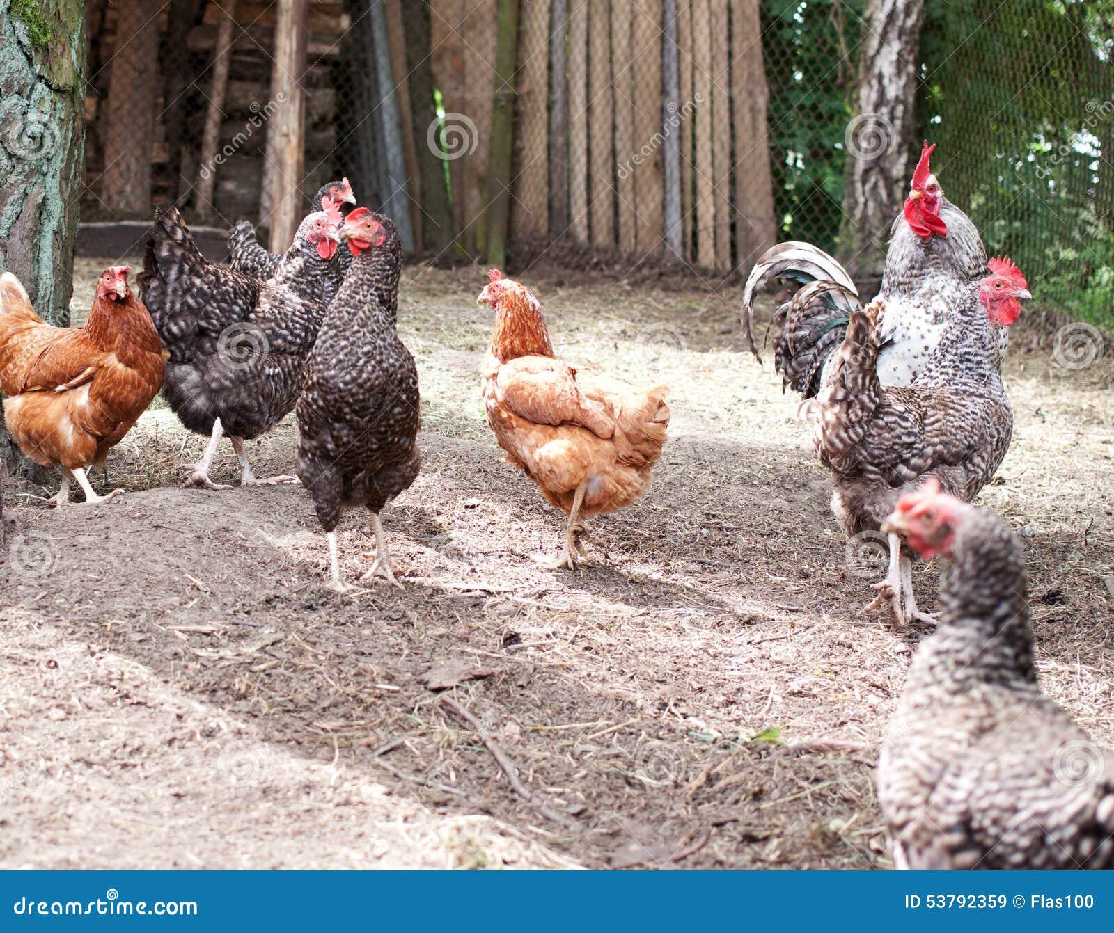 Kierdel chodzi farma drobiu kurczaki