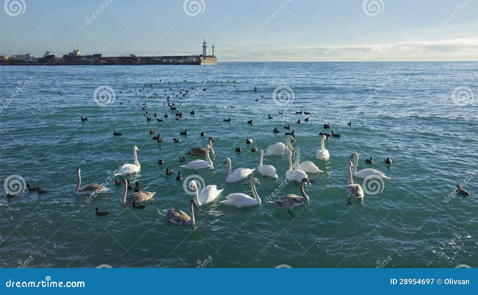 Kierdel dzicy swanes bierze schronienie w port morski