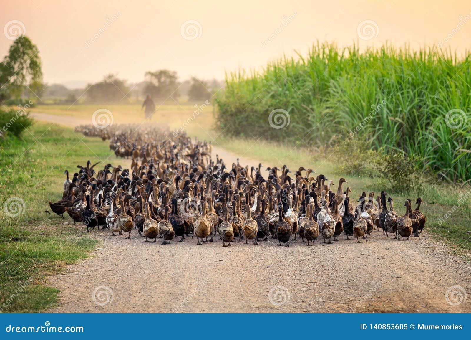 Kierdel kaczki z agriculturist gromadzi się na drodze gruntowej