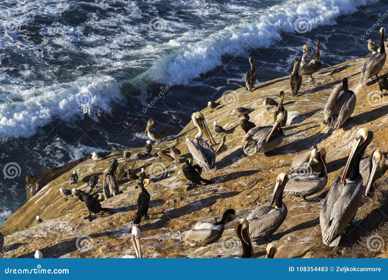 Kierdel seabirds stoi na falezie w losu angeles Jolla żołnierza piechoty morskiej rezerwie San Diego Kalifornia