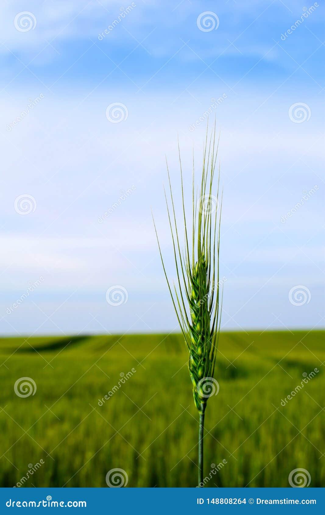 Kies en tarwe met tarwegebied op achtergrond uit