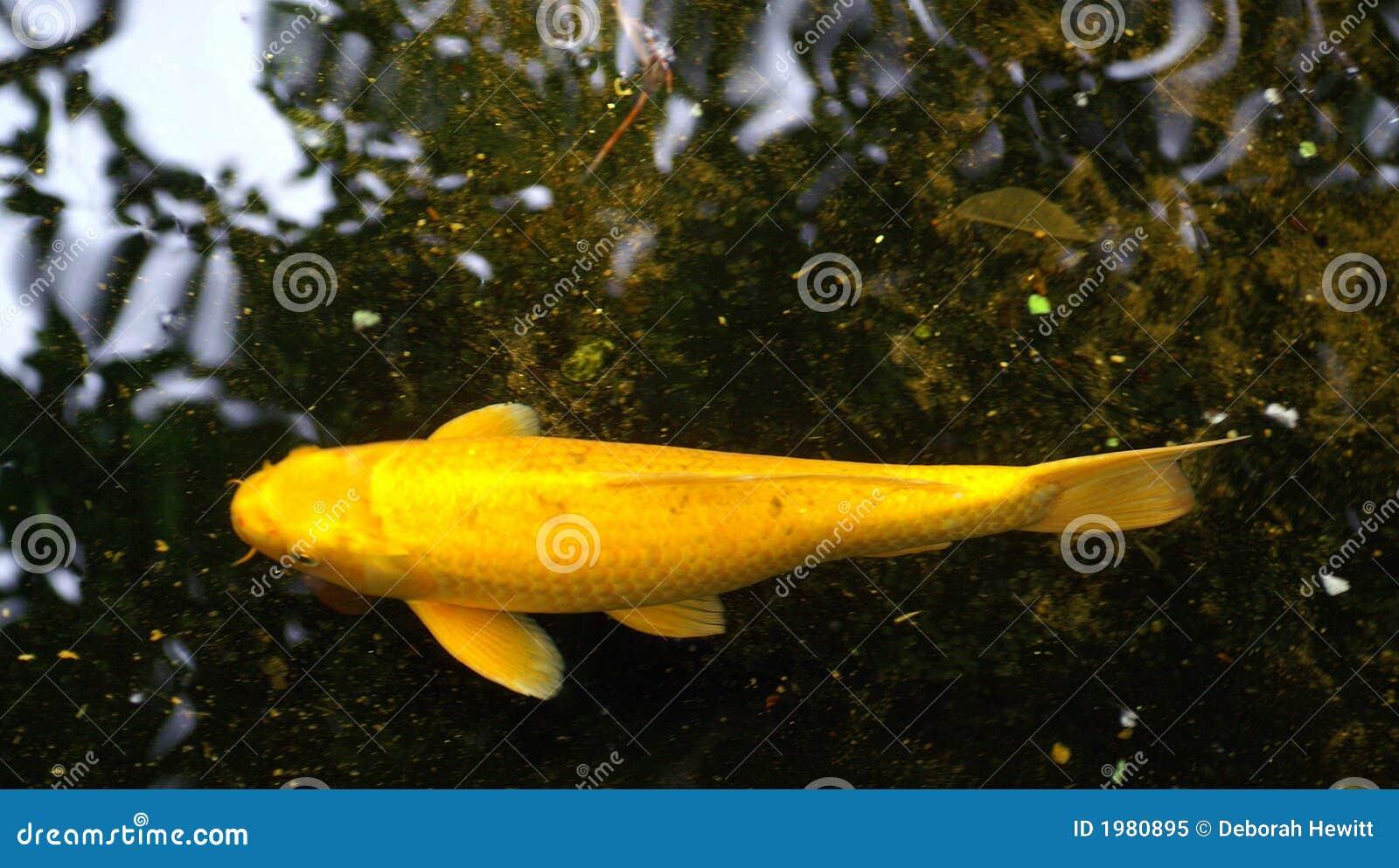 Kigoi yellow koi royalty free stock photo image 1980895 for Yellow koi fish
