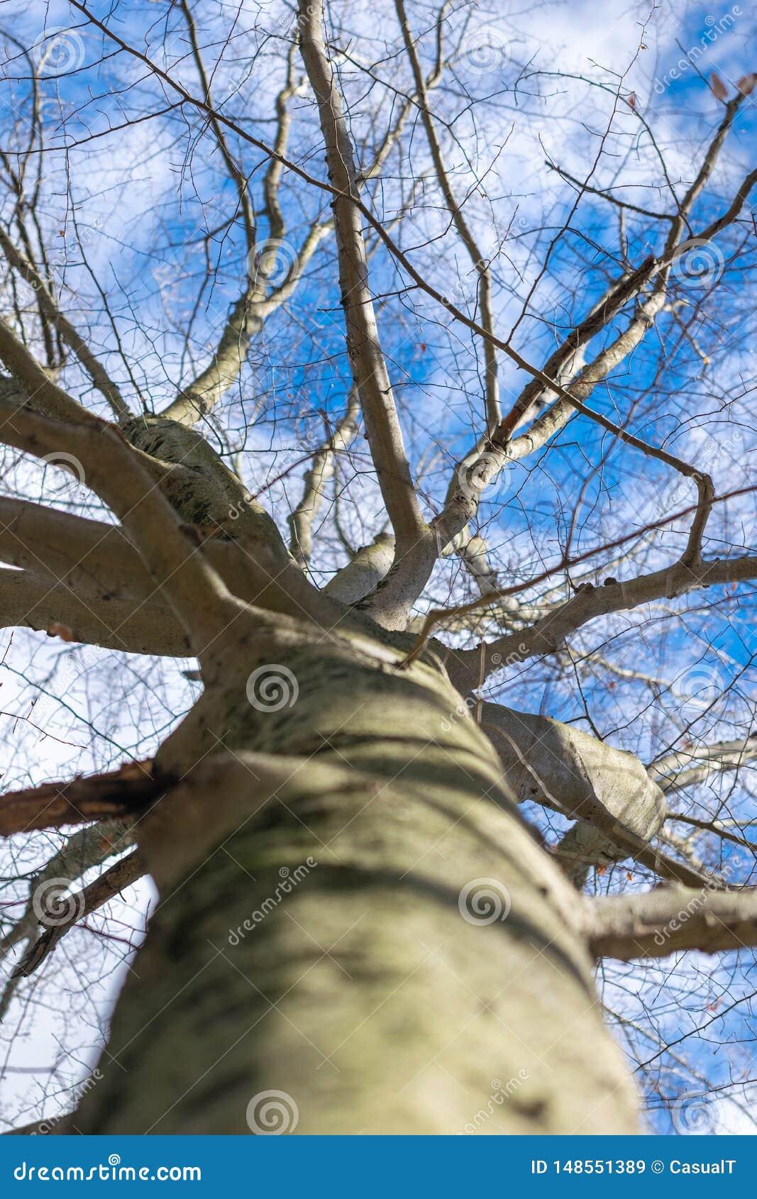 Kijkend omhoog een boomboomstam, naar leafless takken en een duidelijke blauwe de winterhemel