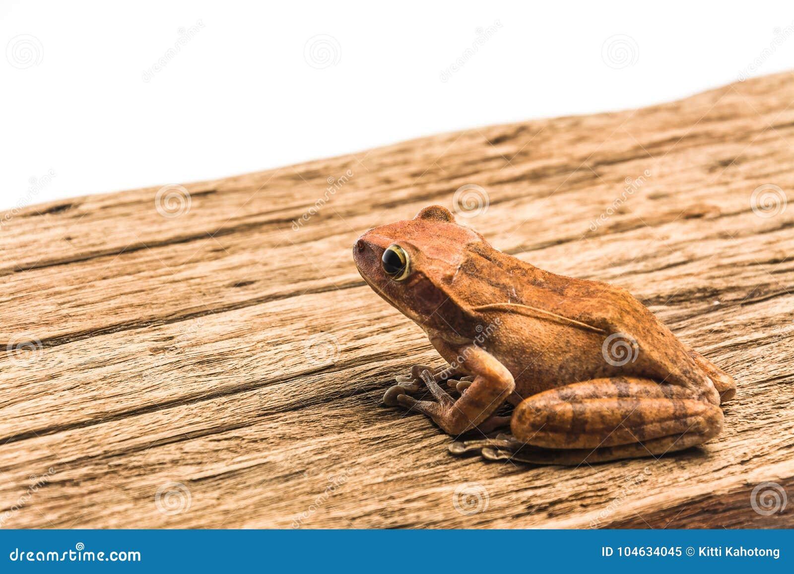 Download Kikker Die Op Witte Achtergrond Wordt Geïsoleerdt Stock Afbeelding - Afbeelding bestaande uit dier, boom: 104634045