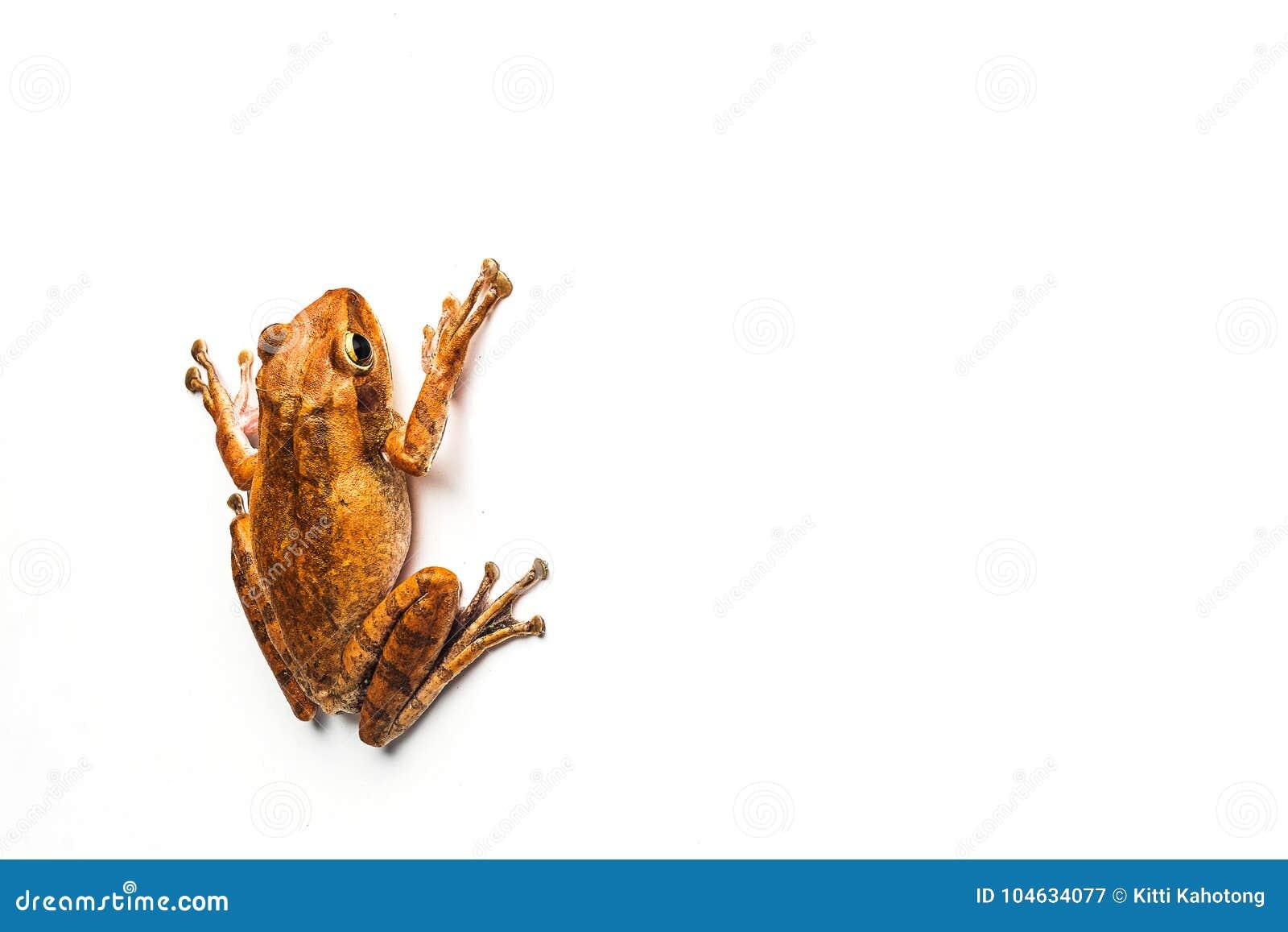 Download Kikker Die Op Witte Achtergrond Wordt Geïsoleerdt Stock Afbeelding - Afbeelding bestaande uit amfibie, klein: 104634077