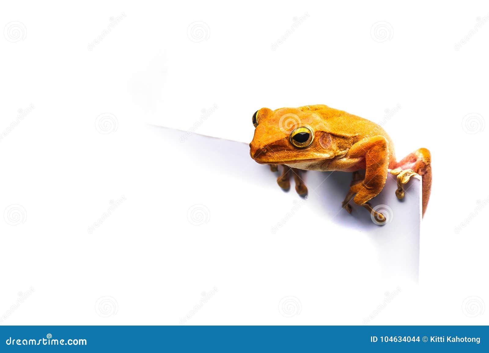 Download Kikker Op Witte Achtergrond Stock Foto - Afbeelding bestaande uit up, soorten: 104634044