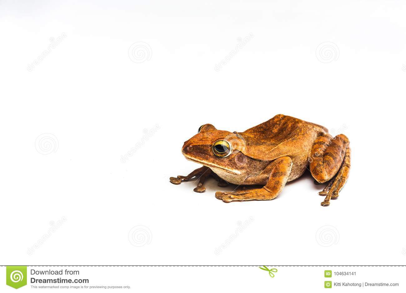 Download Kikker Op Witte Achtergrond Stock Afbeelding - Afbeelding bestaande uit wildlife, groen: 104634141