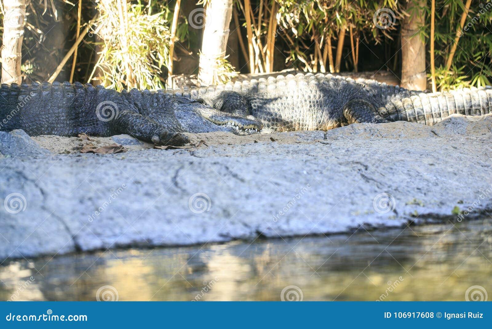 Kilka krokodyle w zoo