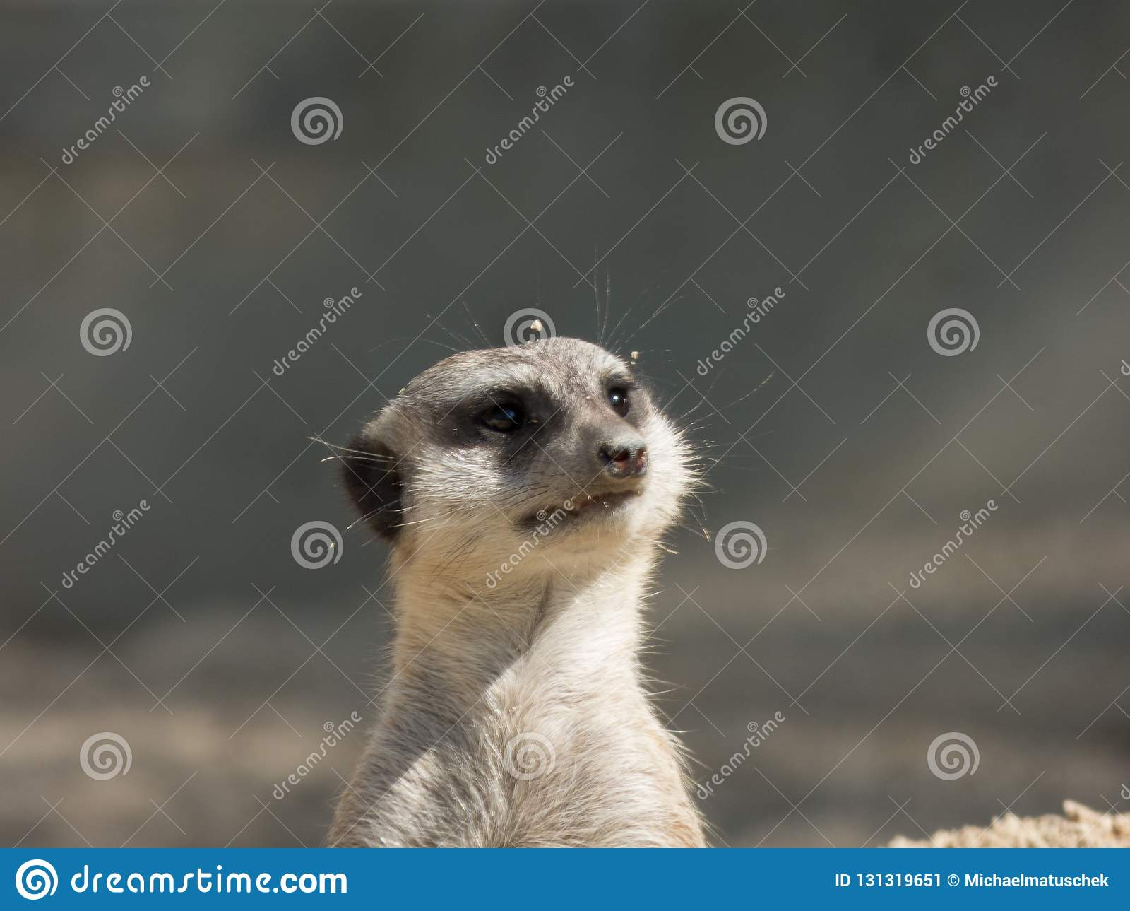 Kilka meerkats w zoo, siedzi na piasku