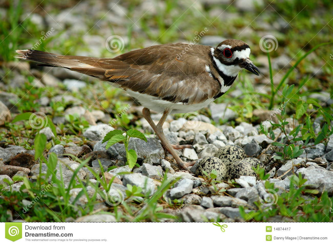 Killdeer Bird With Eggs