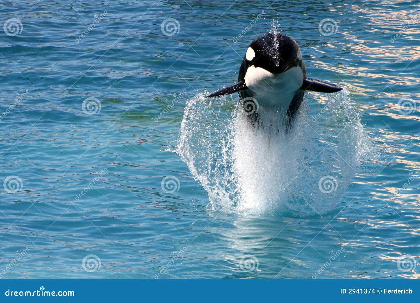 Killer Whale #5 Stock ...