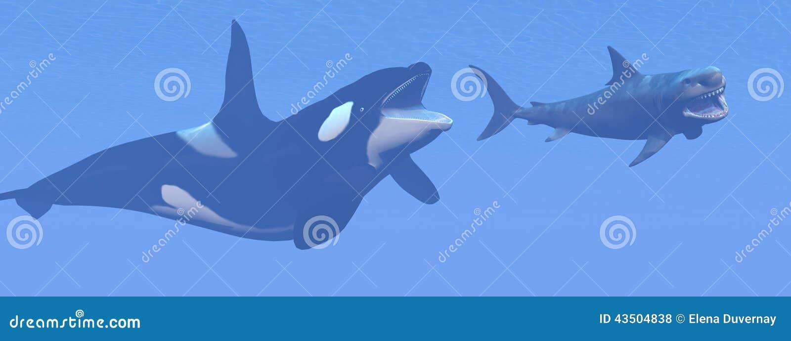 Killer Whale Attacking Small Megalodon Shark - 3D Stock