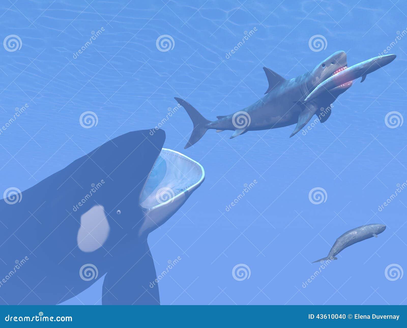 ... killer whale attacking small megalodon shark eating blue whale - 3D
