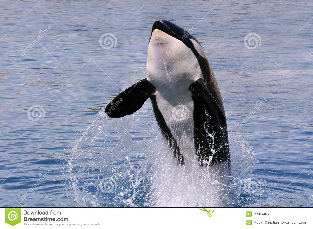killer whale jumping out of water royalty free stock photo image