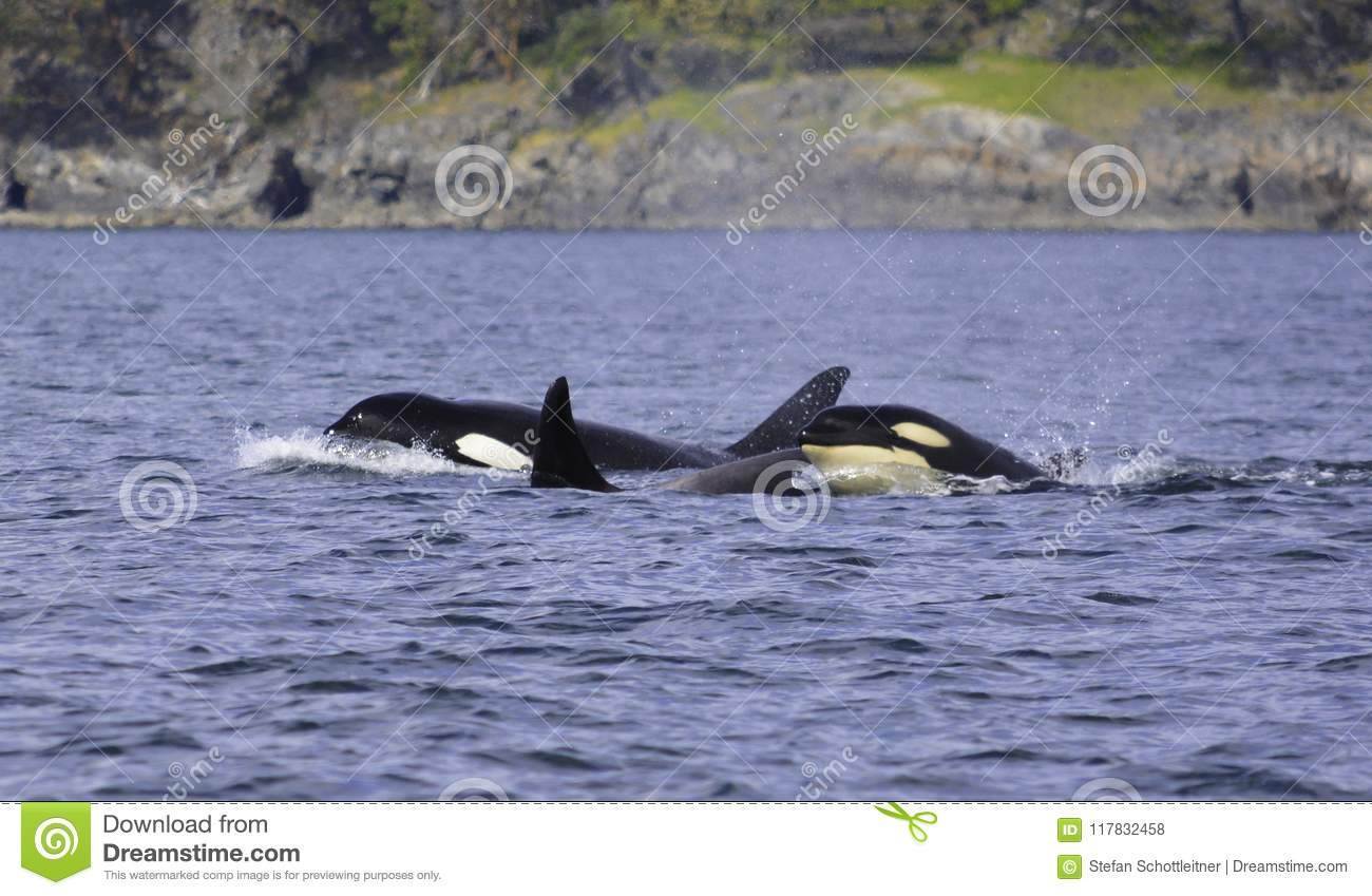 a killer whale is looking on the surface