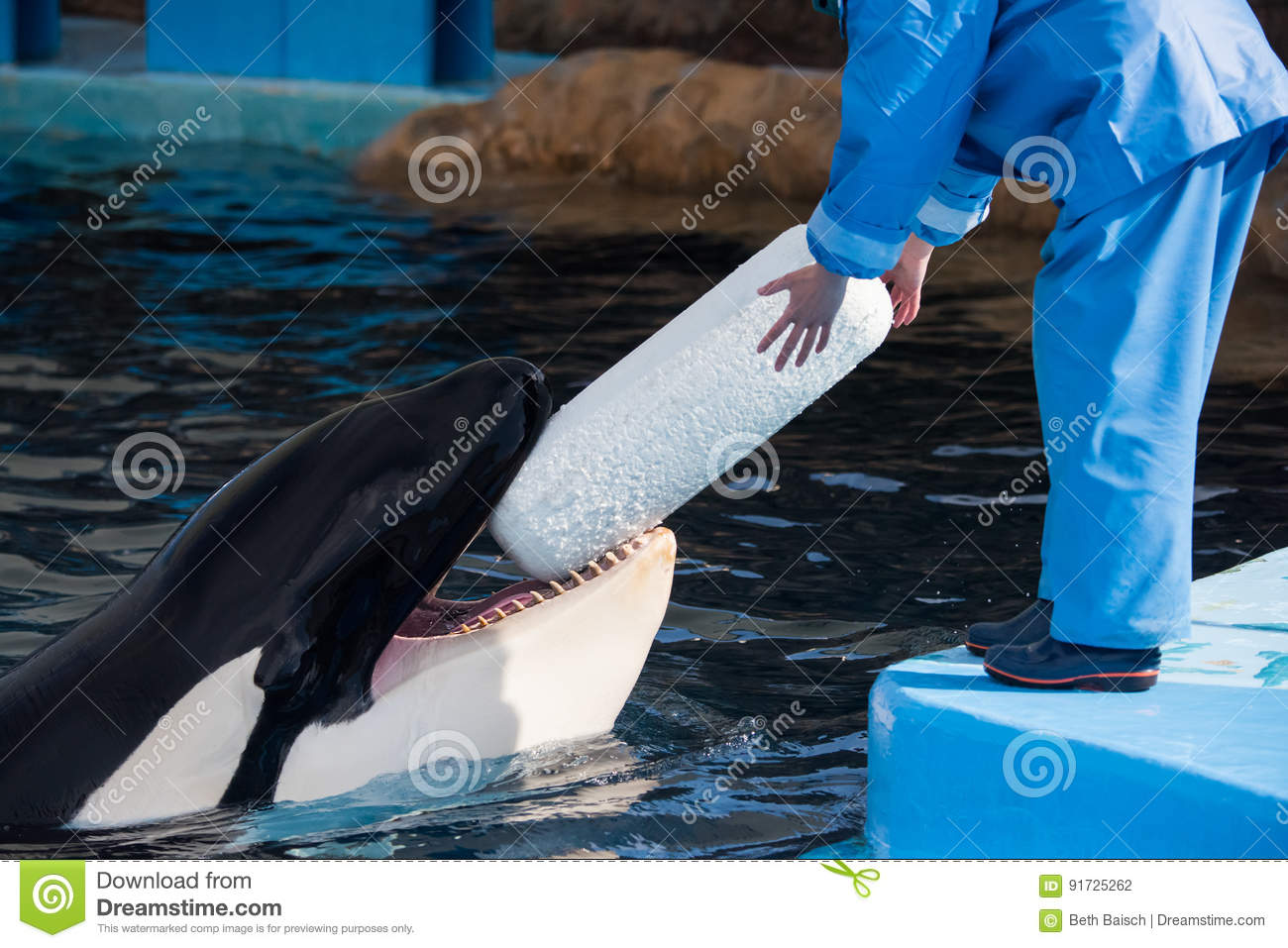 Killer Whale With Trainer and Toy in Japan
