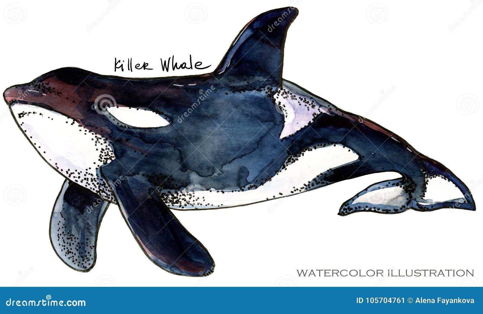 Killer Whale. underwater life watercolor illustration. sea animal