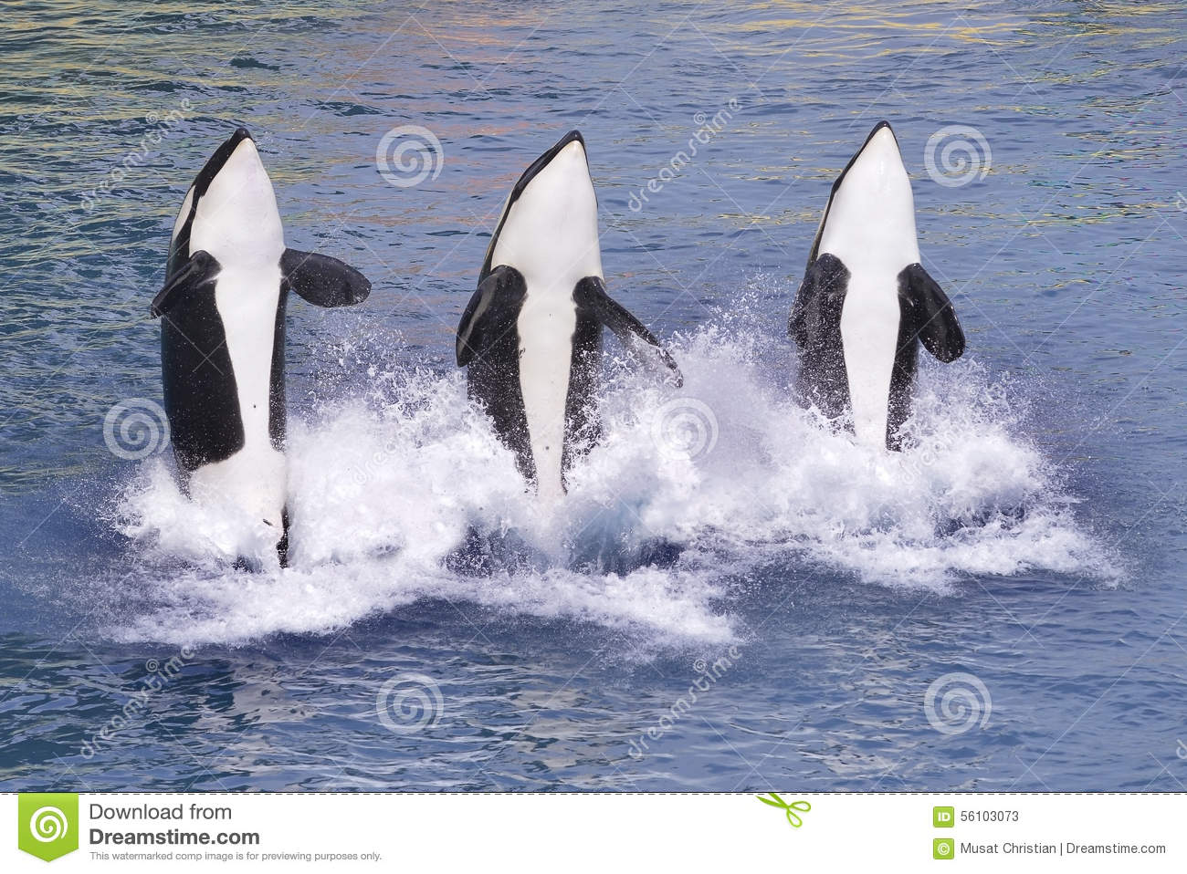 Killer Whales Jumping Out Of Water Stock Photo - Image ...