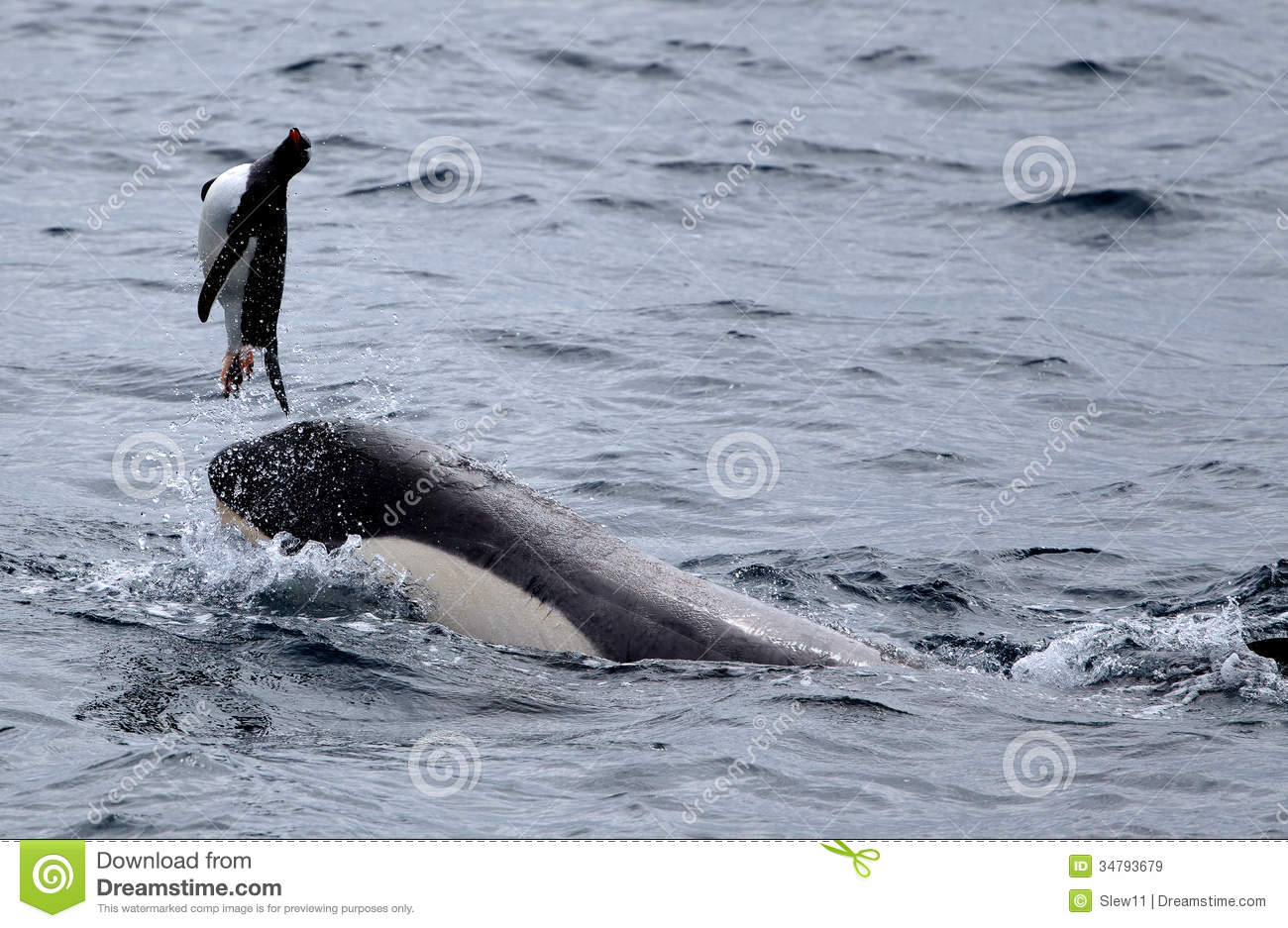 killer whales playing with penguin stock image image of