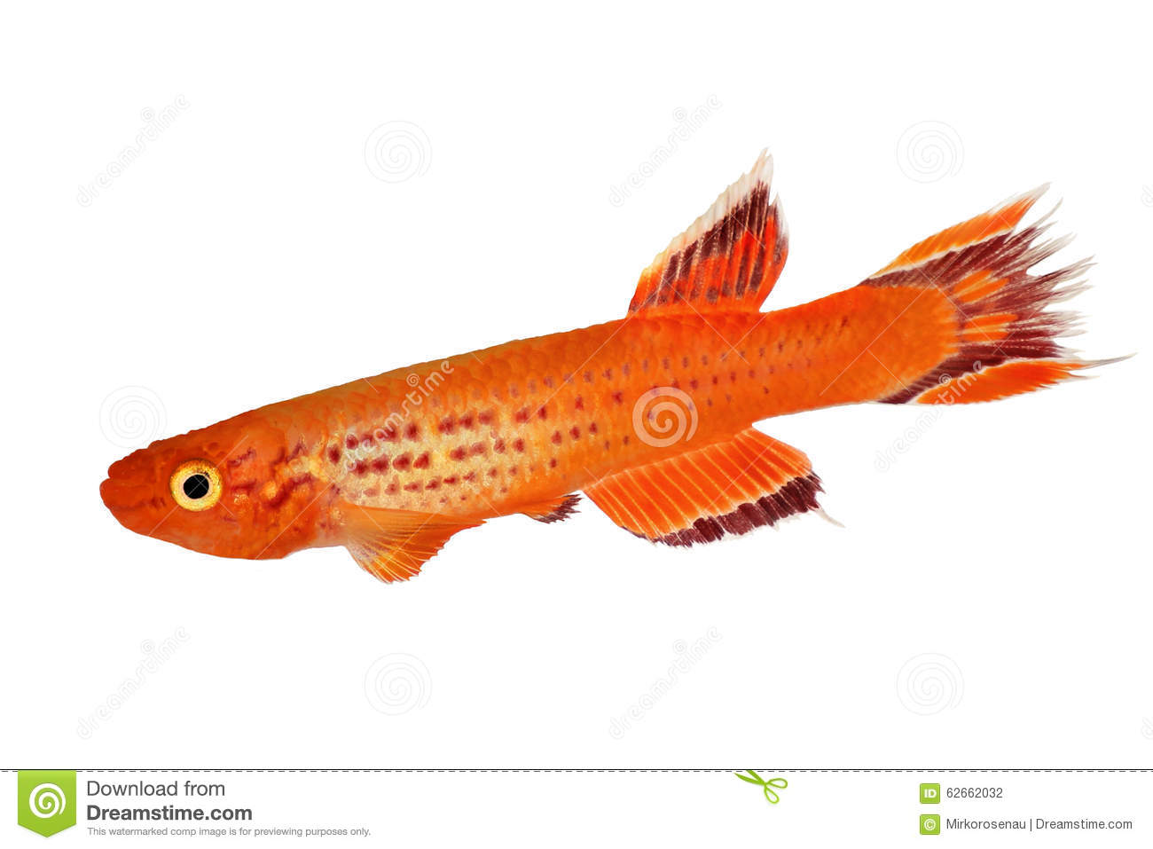 Killi Aphyosemion austral Hjersseni gold Aquarium fish isolated on White