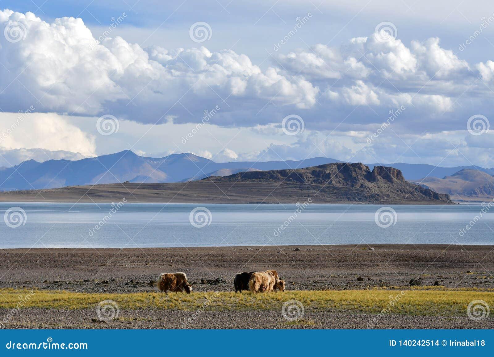 Kina Great Lakes av Tibet Yaks som betar på lagret av sjön Teri Tashi Namtso i sommar