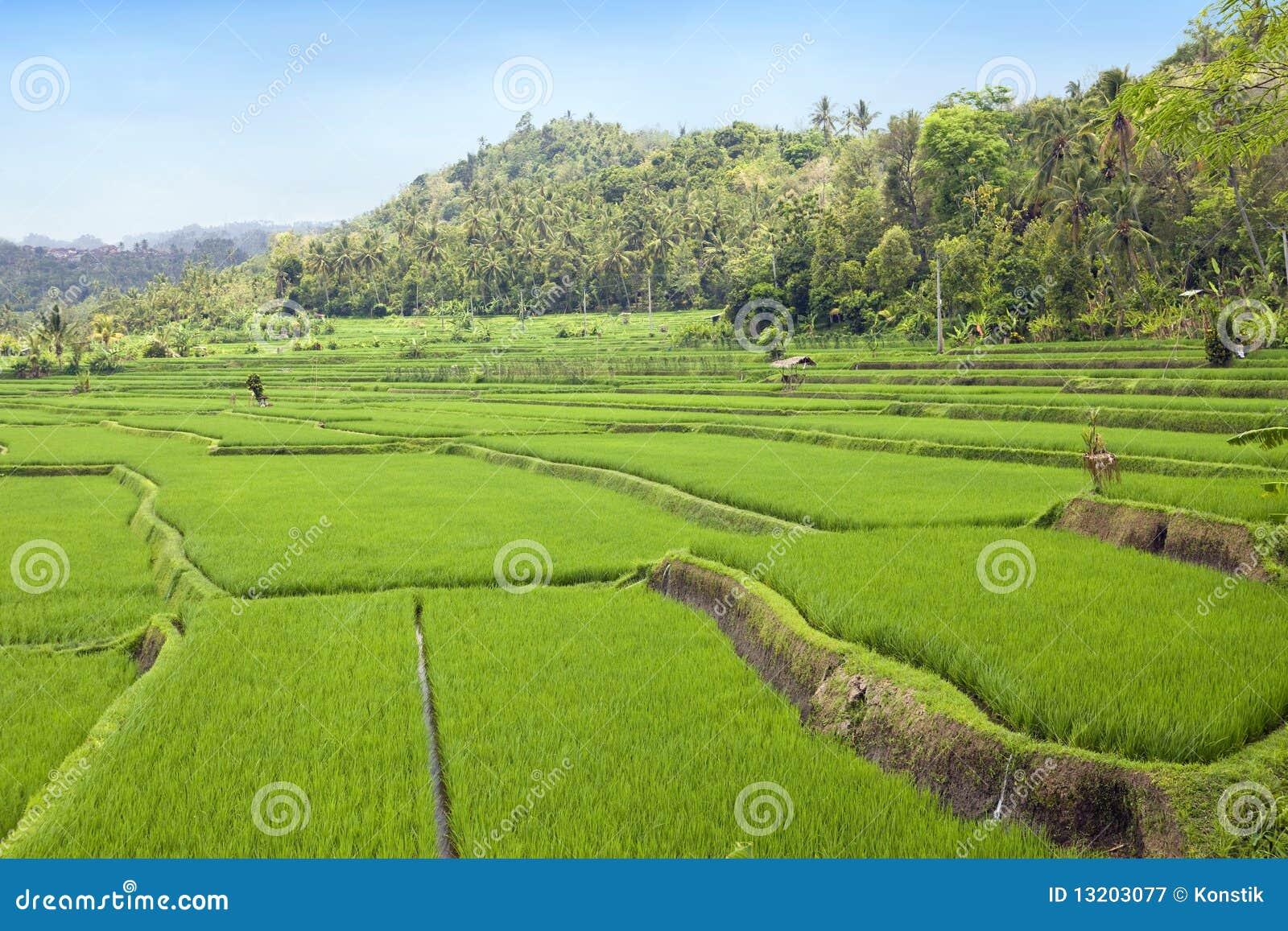 Kind on rice terraces, Bali, Indonesia