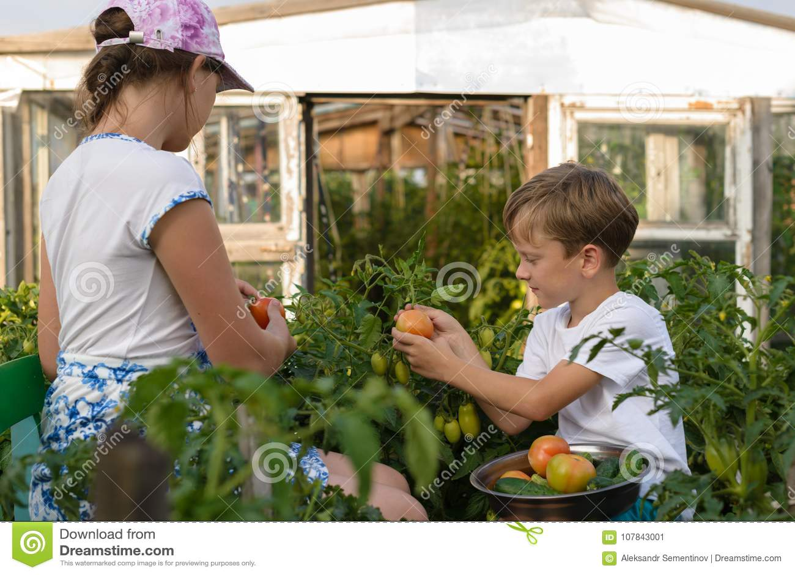 Kinder erfassen Jungen der Gemüseernte A und ein Mädchen arbeiten