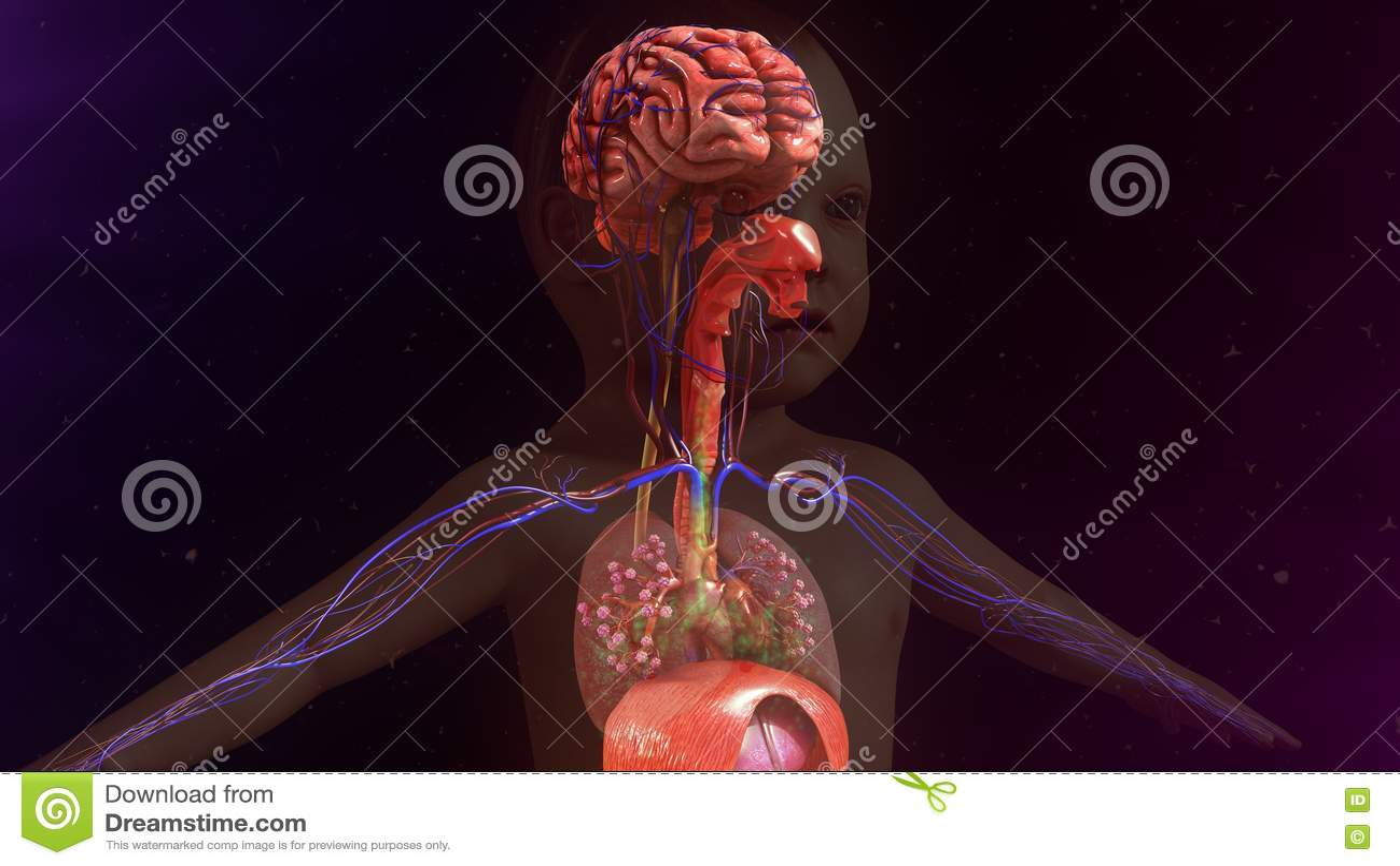 Kinderanatomie stock abbildung. Illustration von muskel - 73449284