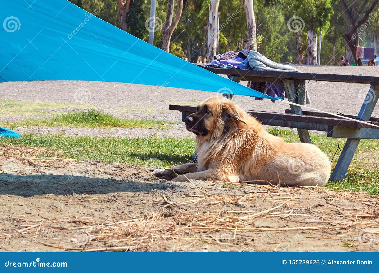 Kineret jezioro osamotniony pies Kaukaski Pasterskiego psa obsiadanie na brzeg Lipiec