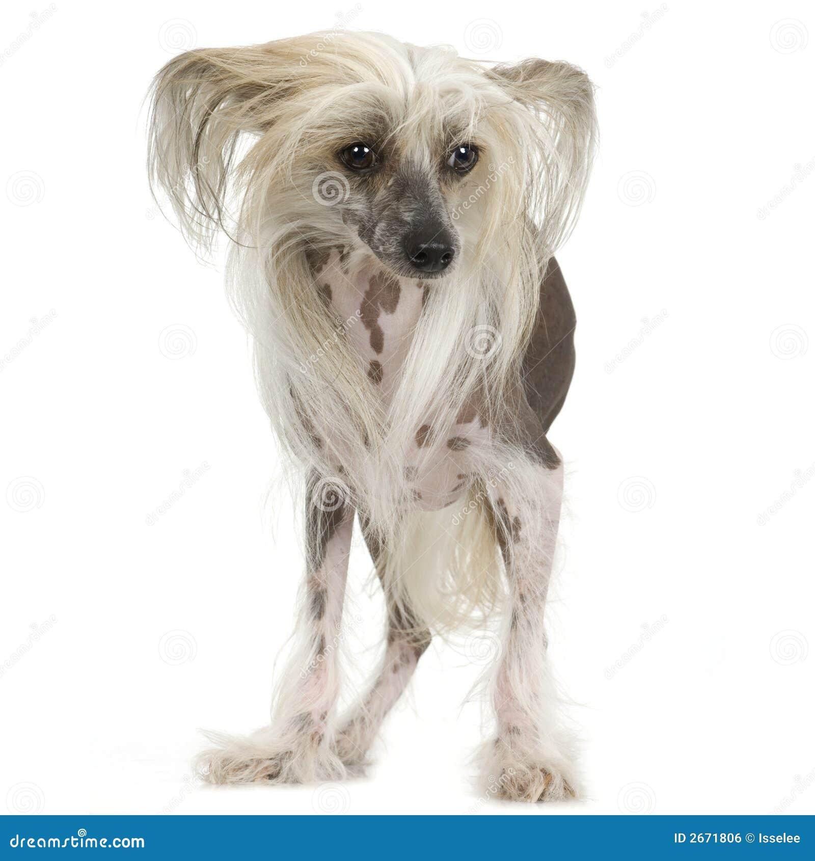 Kines hårlös krönad hund
