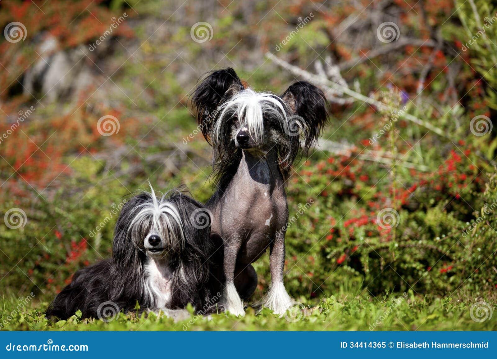 Kines krönad hårlösa och Poderpuff hundkapplöpning
