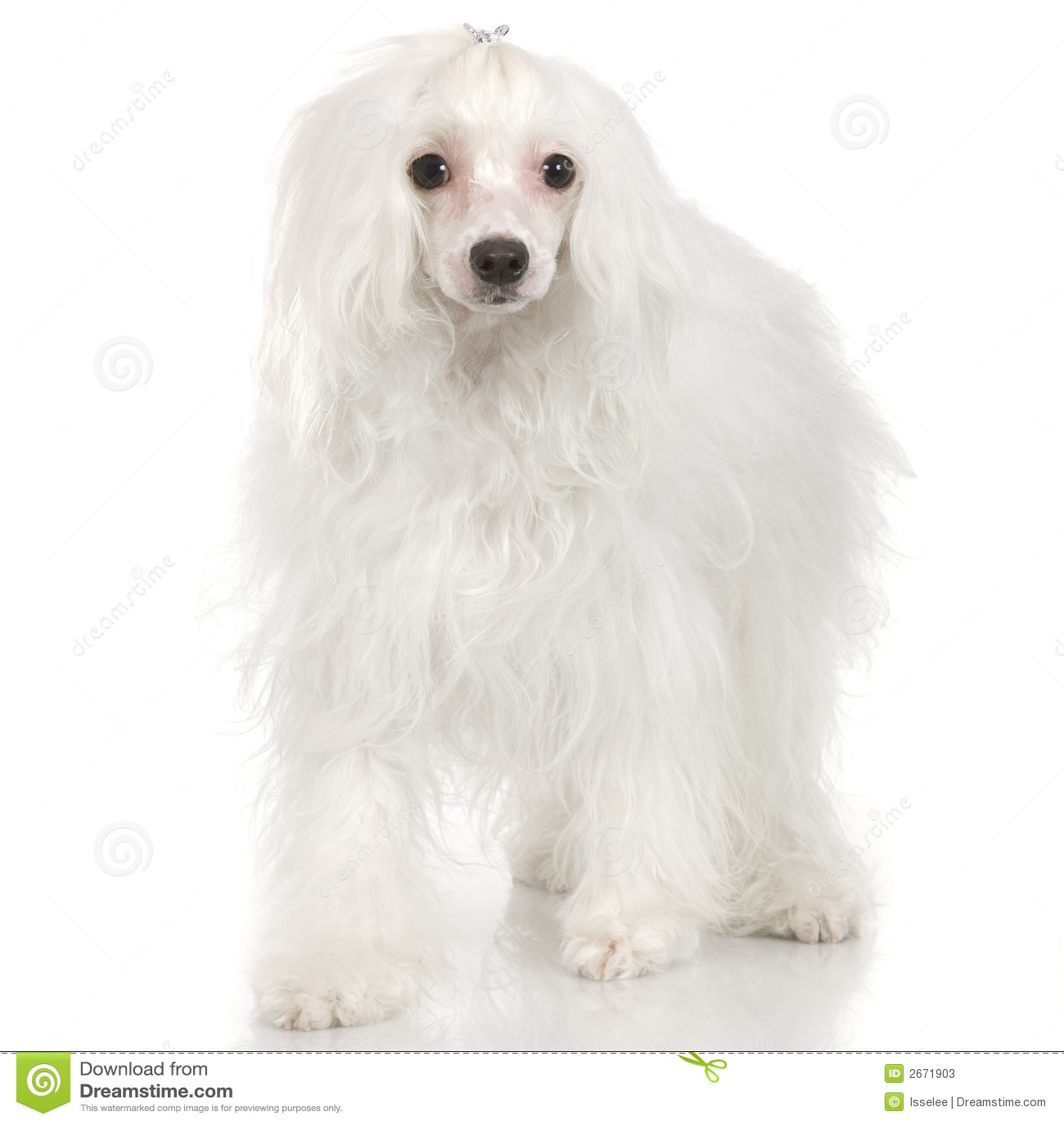 Kines krönad hund