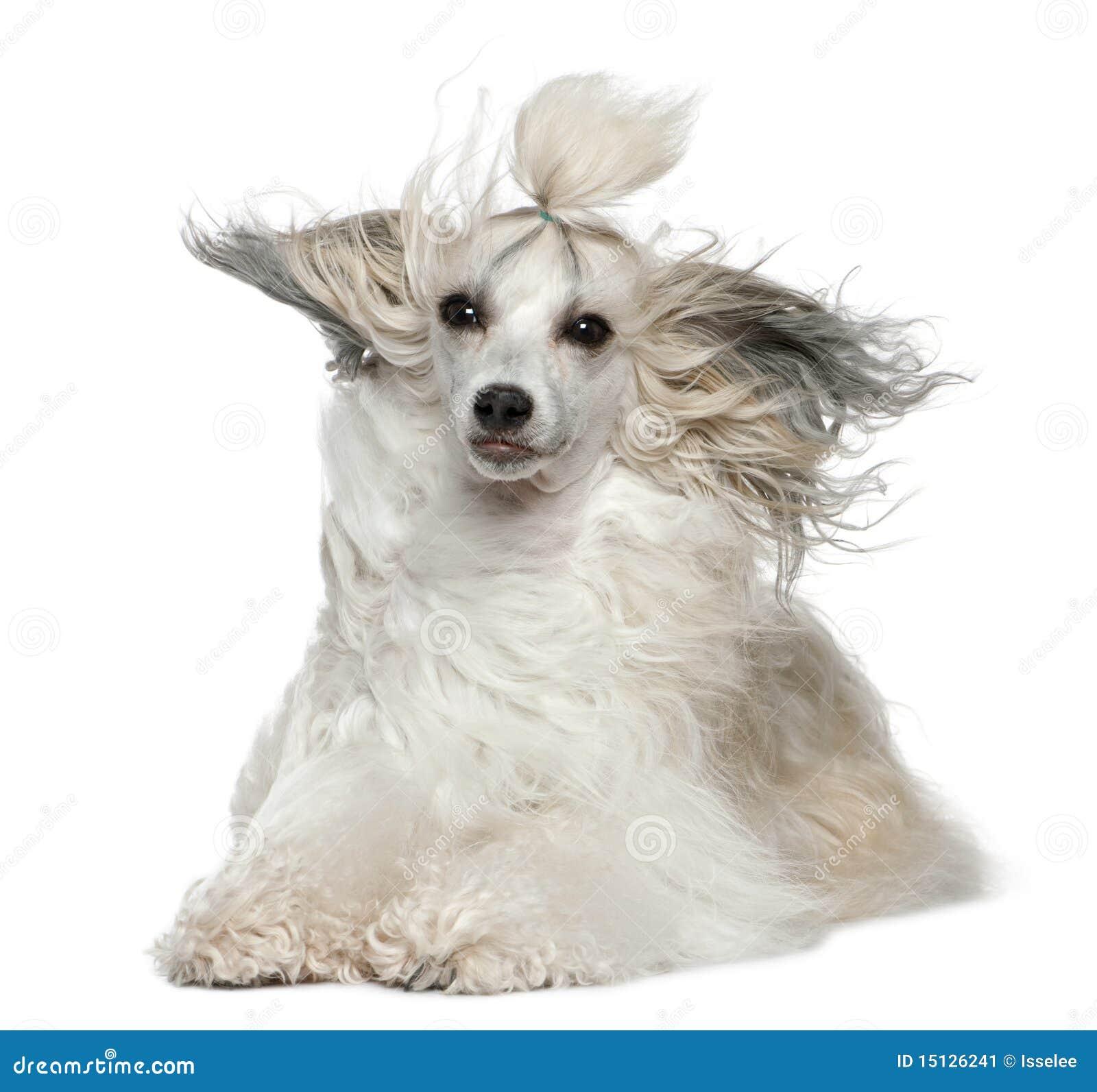 Kines krönad wind för hundhår