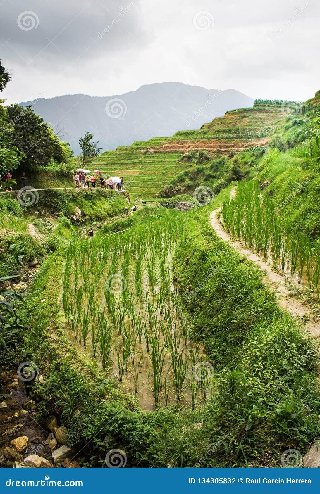 Kinesisk plats i de härliga terrasserade risfälten i Longsheng Tian Tou Zhai by i longjiristerrass i guangxi Kina