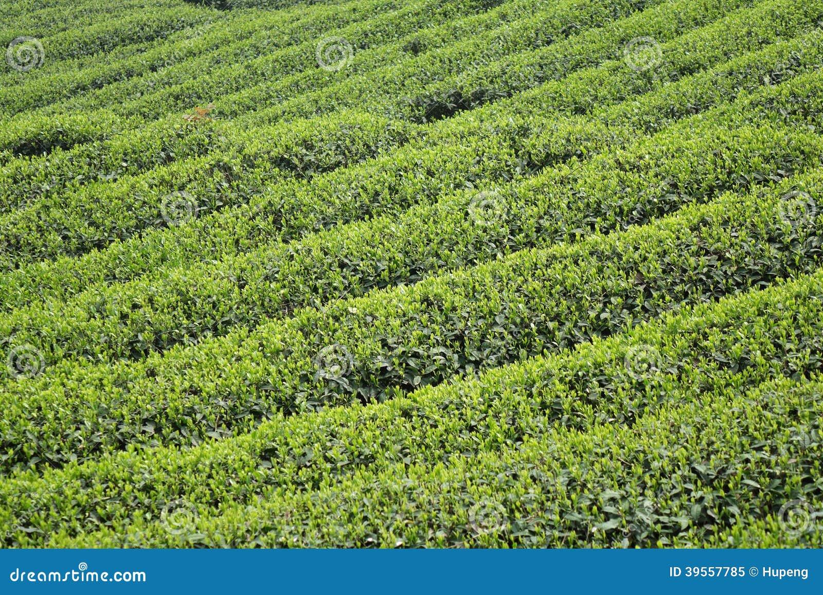 Kinesiska tefält i vår