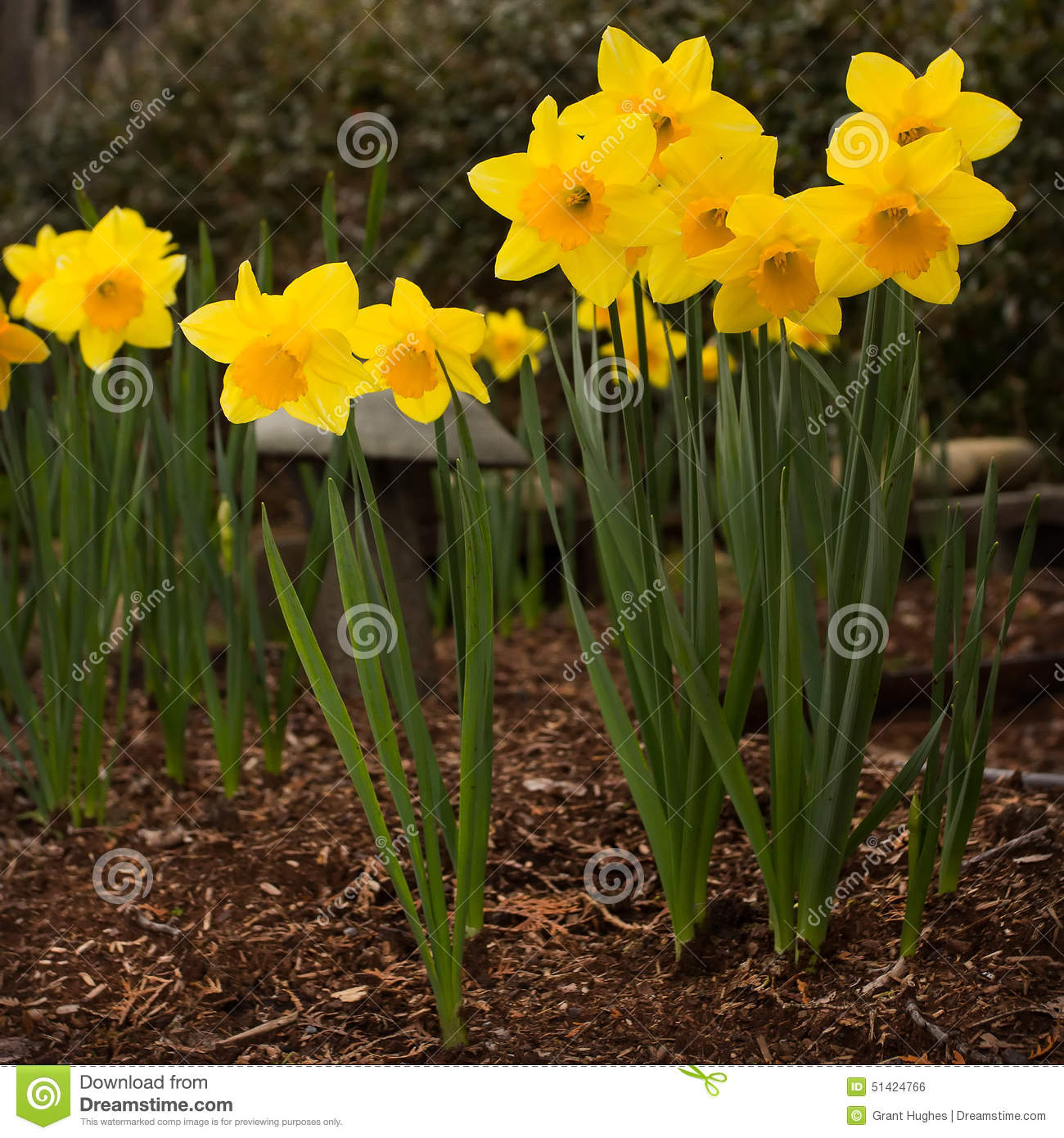 King alfred daffodils with mulched soil and garden for Soil king compost