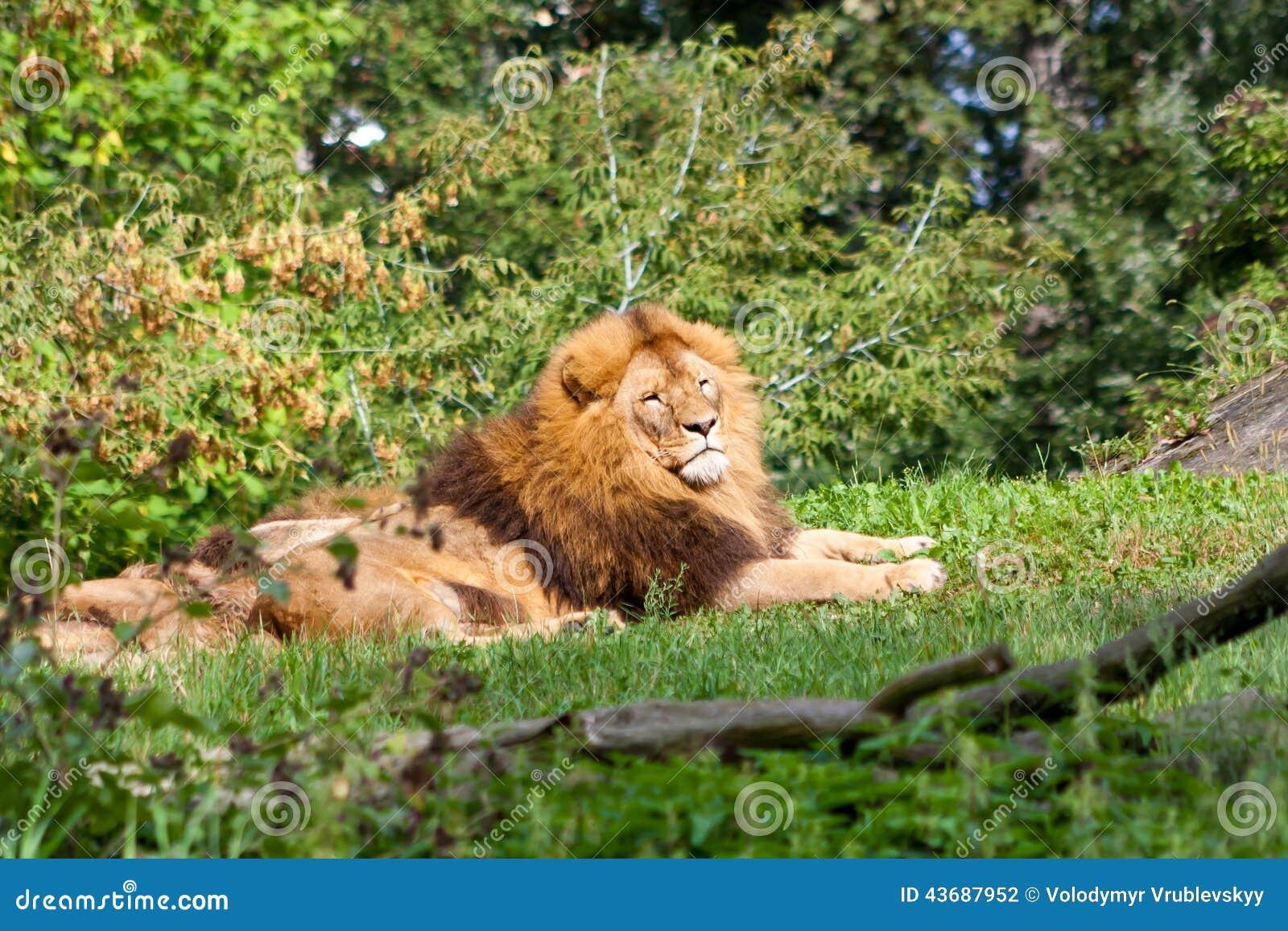 King of animals  stock photo  Image of lion, predator - 43687952