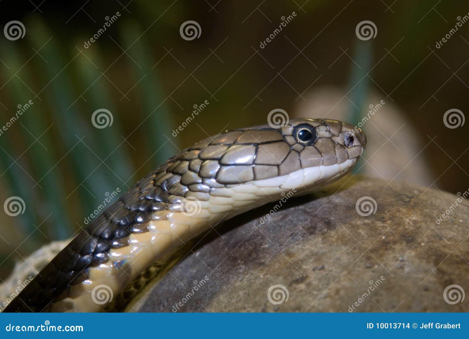 Фото кобра крупным планом 16 фотография