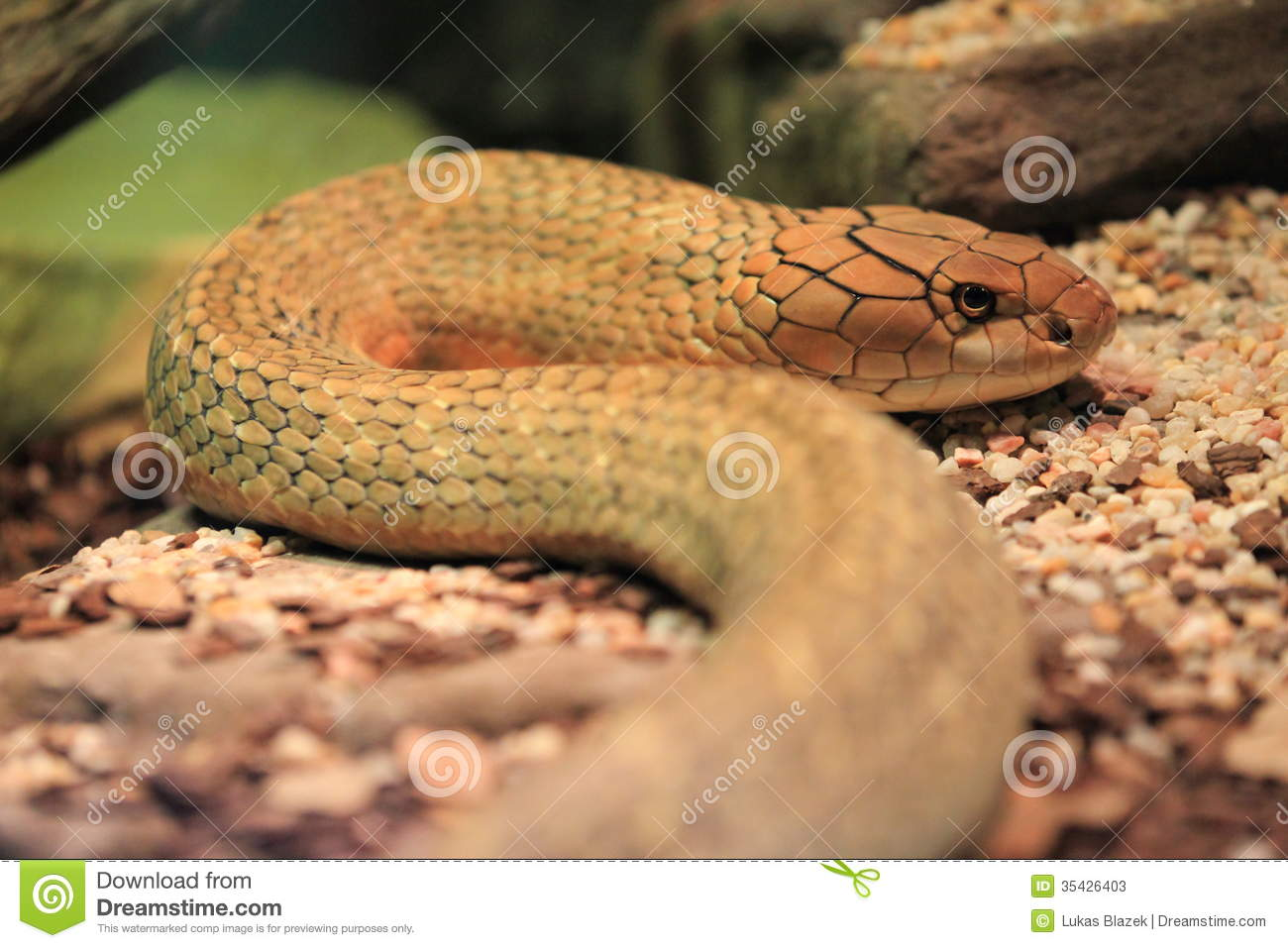 King cobra stock photos image 35426403 for Soil king productions