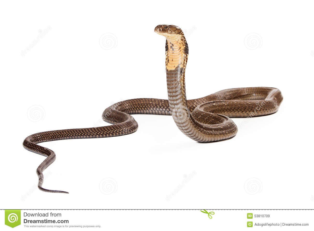 King Cobra Snake Stock Vector - Image: 68780395