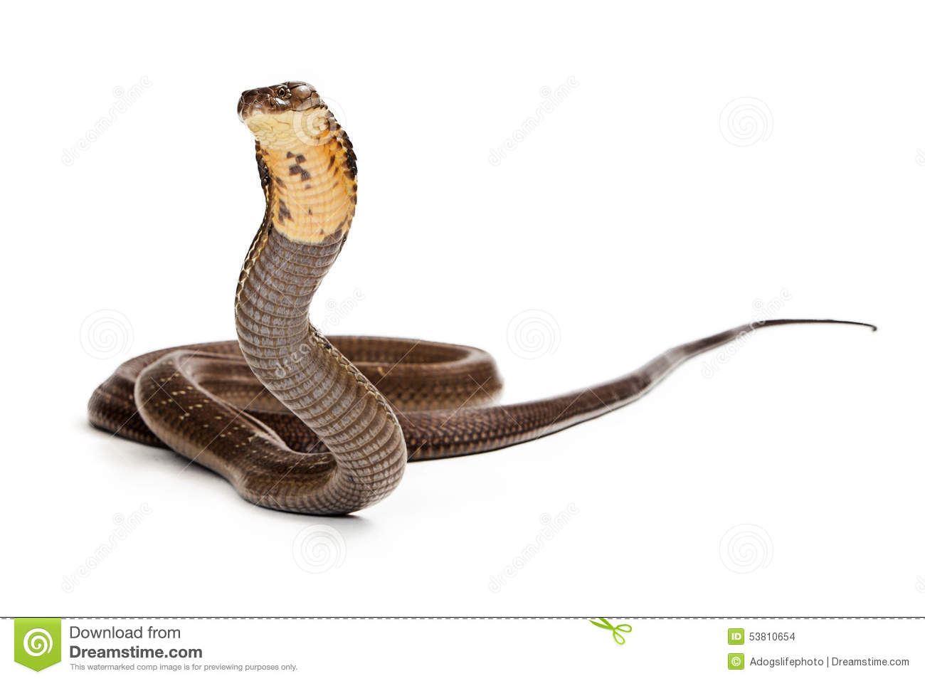 king cobra snake ready to strike stock photo image of predator