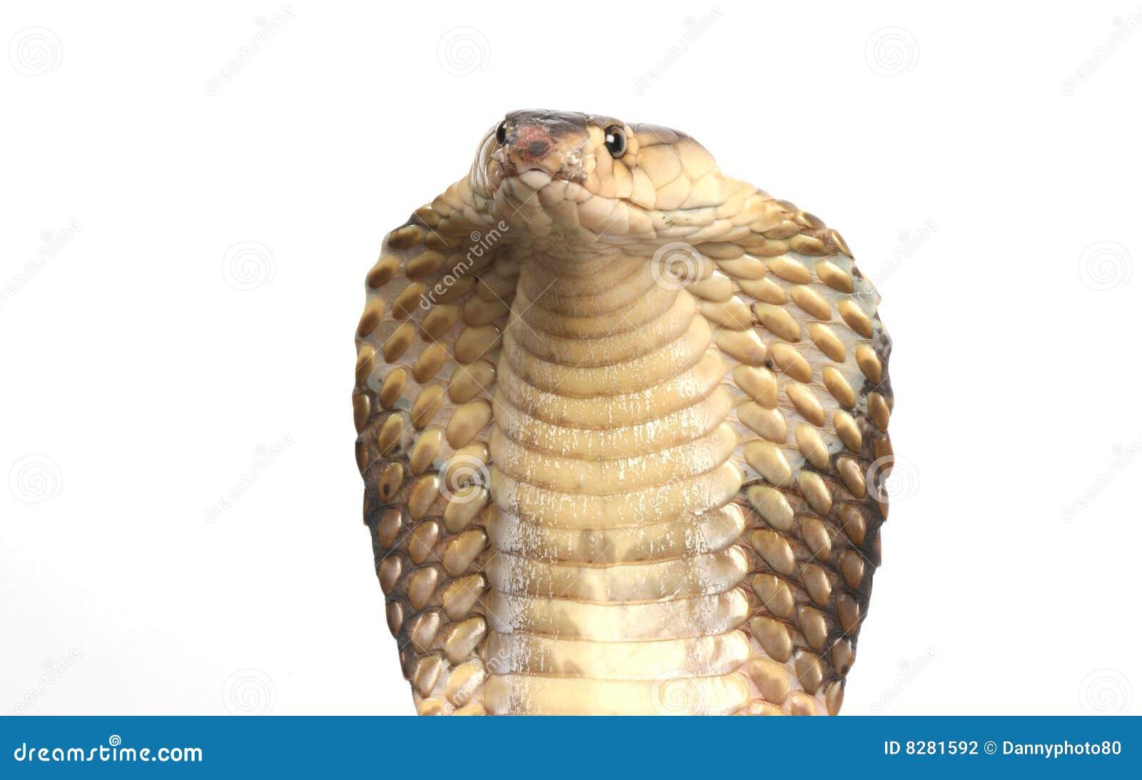 Фото кобра крупным планом 13 фотография